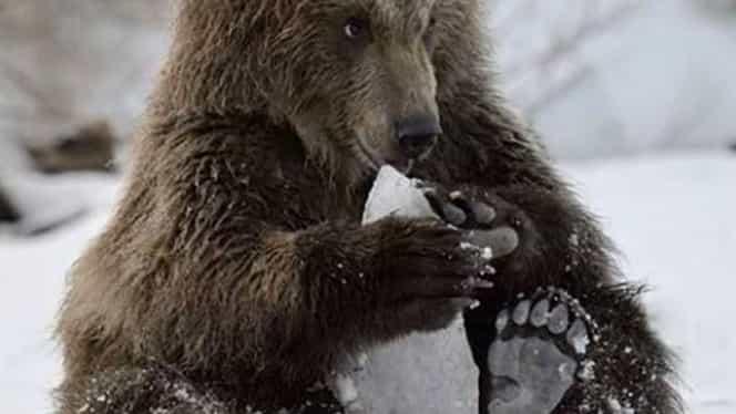 Un urs a ajuns pe pârtia de la Predeal. Turiștii au primit mesaje RO-Alert