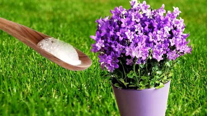Ce efect are bicarbonatul de sodiu asupra florilor din casă!