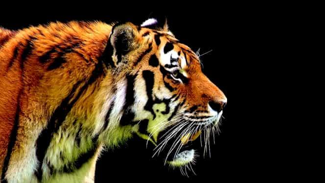 Zodiac Chinezesc pentru joi, 30 aprilie. Tigrul primește o veste care îl lasă fără replică