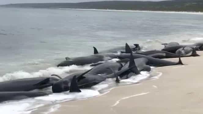 Video! Dezastru în Australia! Peste 150 de balene au eşuat la mal!