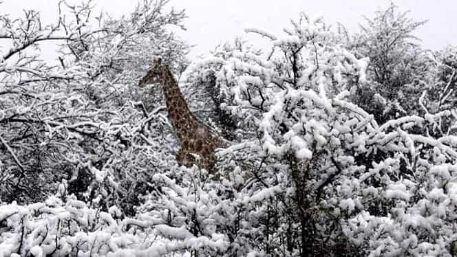 A nins în Africa de Sud! Iată primele imagini cu zebrele și elefanții în zăpadă