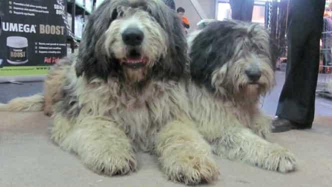 Un bărbat din Bihor, ucis de câini, declarat vinovat pentru că a încălcat proprietatea privată a stăpânilor patrupedelor