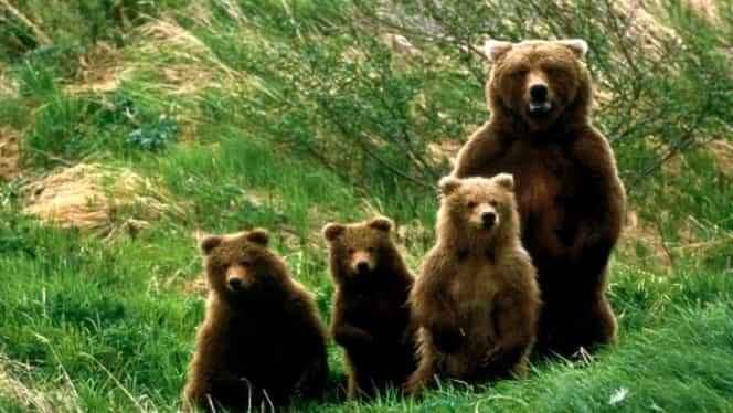 Apel disperat la Braşov. Ursoaică şi trei pui, la magazinul Carrefour!