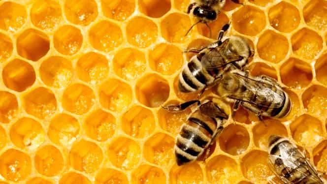 Albinele tocmai ce au devenit cele mai importante ființe de pe pământ