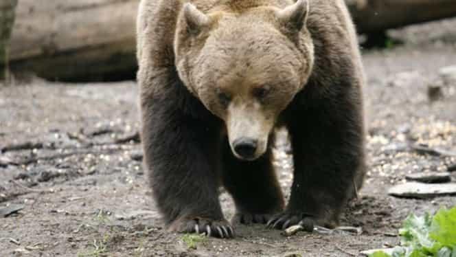 Ursul a vrut să intre iar în Cabana Postăvarul! Sezonul se apropie, iar turiştii vor lua cu asalt cabana