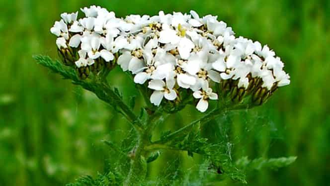 Planta minune care vindecă rănile, cangrenele şi bolile infecţioase! O găseşti la tot pasul!