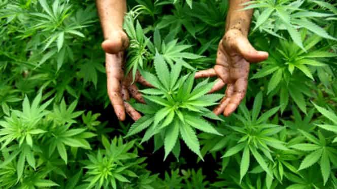 Cea mai mare captură de cannabis din România! Trei persoane arestate
