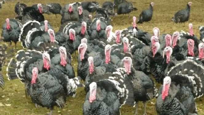 Alertă alimentară în România! Carne de curcan cu virusul gripei aviare a fost adusă în România