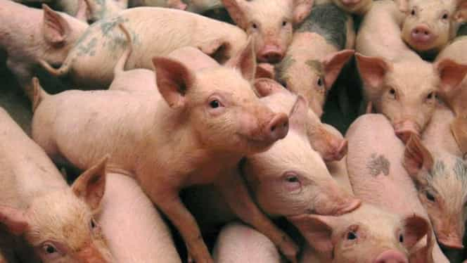 Ce se întâmplă dacă mâncăm carne infestată cu pestă porcină! Specialiștii vin cu explicații!