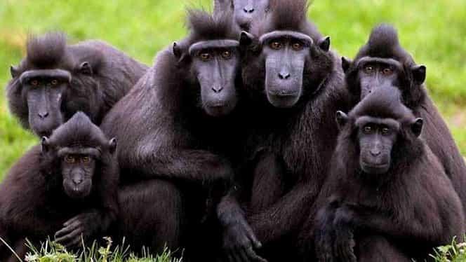 """""""Personalitatea anului"""", o maimuţă! Ce a făcut macac-ul pentru a obţine distincţia!"""