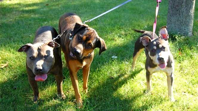Proprietarii câinilor de rasă sunt pasibili de dosar penal! Poliția face verificări în toată țara