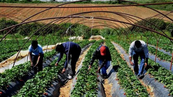 """Marea Britanie vrea ca românii să fie aduși urgent pentru a munci în ferme: """"Fructele și legumele se vor strica dacă nu vin să le culeagă"""""""