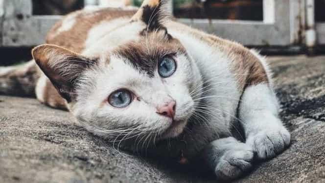 """O pisică a fost infectată cu coronavirus, în Belgia. A luat Covid-19 de la proprietar. """"A fost un transfer de la om la animal și nu de la animal la om"""""""