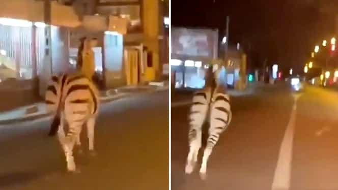 O zebră și doi căluți se plimbau nestingherite pe străzile pustii ale Parisului! Animăluțele scăpaseră de la circ