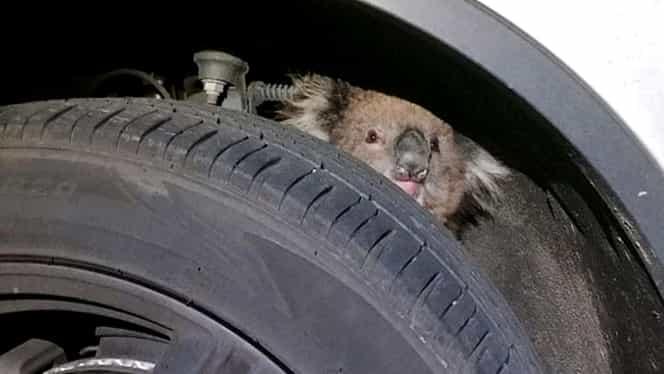 Un urs koala a mers 15 km agăţat de suspensia unei maşini! Cum s-a terminat aventura! GALERIE FOTO