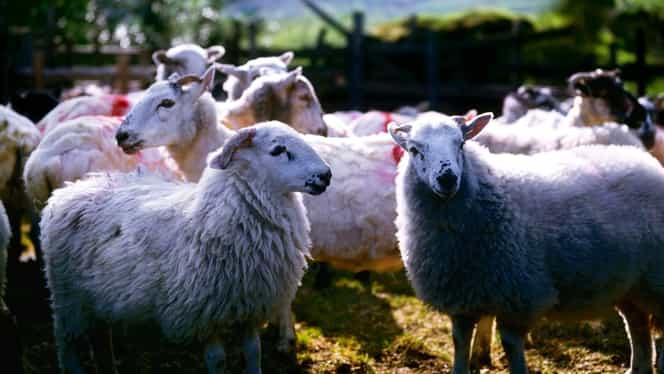 Greșeală de neiertat. Doi profesori universitari compară românii din diasporă cu oile