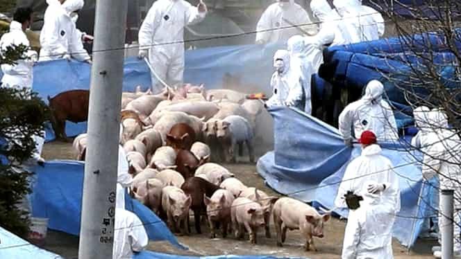 Pesta porcină, la loc comanda de sărbători! Amenzi de sute de mii de lei și animale confiscate pe loc