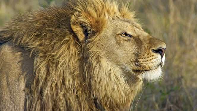 Sfatul zilei de 29 ianuarie. Leul se îndrăgostește astăzi