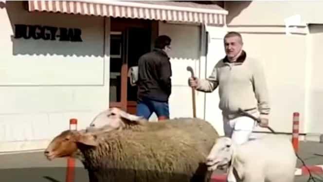Gigi Becali a ieșit cu oile pe stradă, în Pipera! A blocat din nou circulația. VIDEO