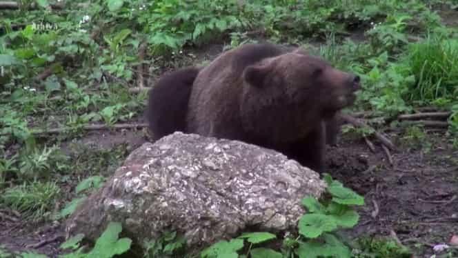 Bărbat atacat de un urs, pe un câmp din Brașov