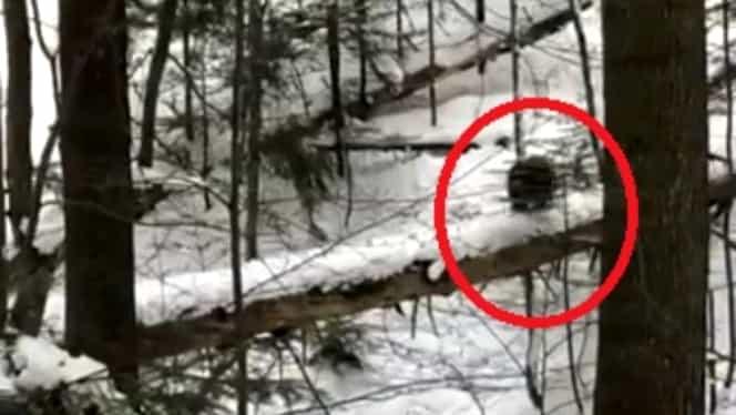 ALERTĂ! Doi urși au fost văzuți în zone pline de oameni la Predeal! Mesaj de la autorități pentru turiști