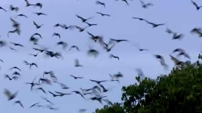 Mii de lilieci au invadat un mic oraș din Australia. Oamenii, nemulțumiți de zburătoare. VIDEO