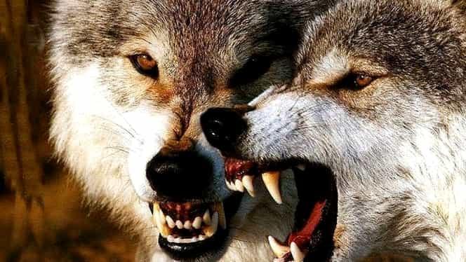 Noaptea când lupii încep să vorbească! Cine le va auzi secretele teribile, va fi vai şi amar de el!