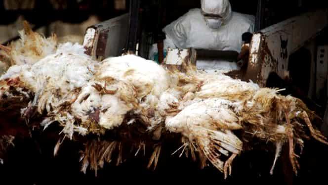 Suspiciuni de gripă aviară în Germania