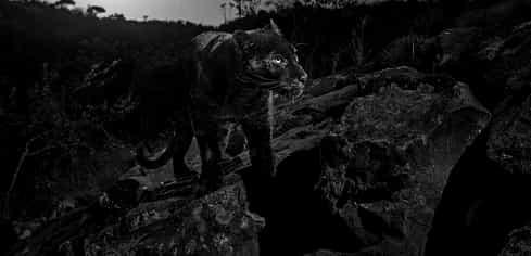 Un leopard negru, fotografiat pentru prima dată în 100 de ani în Africa