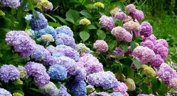 Hortensiile și narcisele sunt florile care aduc noroc în acest an