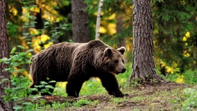 Cioban din județul Mureș, ucis de urs. Unde a fost găsit bărbatul