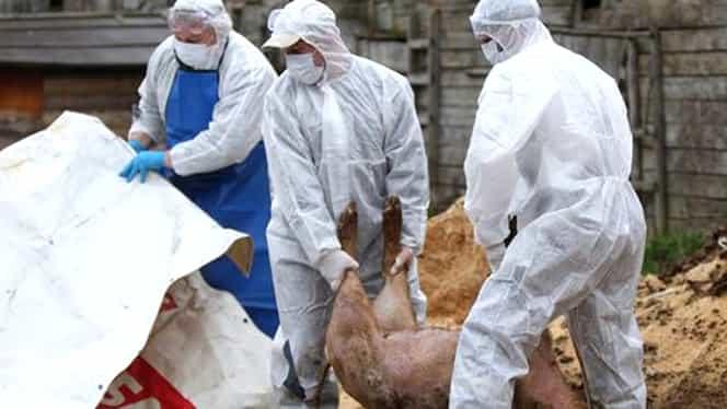 Pesta porcină, în România! Cum arată bilanțul devastator al ANSVSA