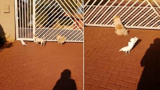 La asta sigur nu te-ai fi așteptat! Un papagal latră laolaltă cu câinii pentru a proteja casa stăpânului VIDEO