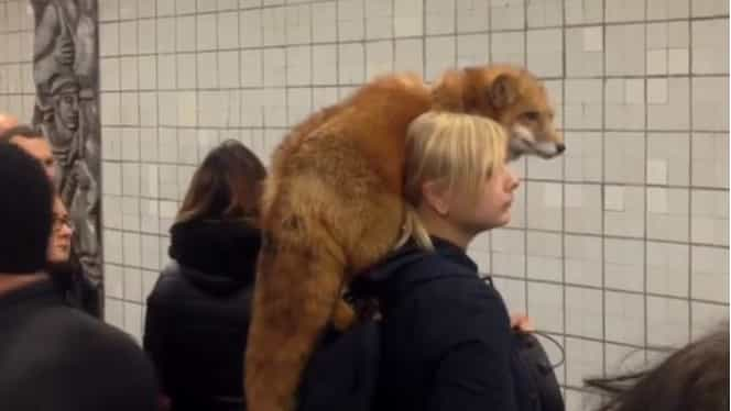 Scene uluitoare la metrou! O pasageră a venit cu vulpea în spate! Video
