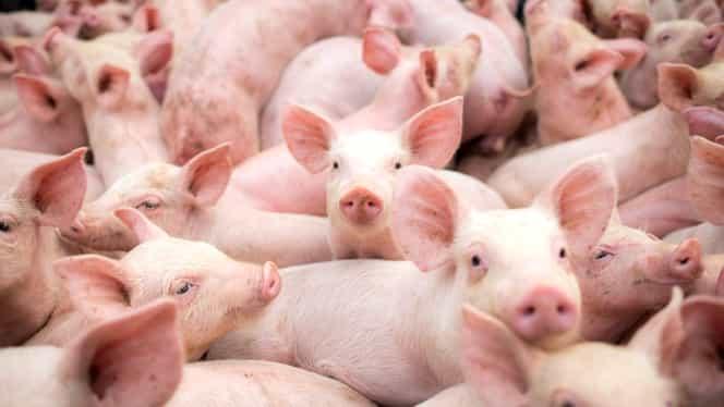 Pesta porcină a ucis peste 542 de mii de porci, în România! Despăgubirile sunt astronomice