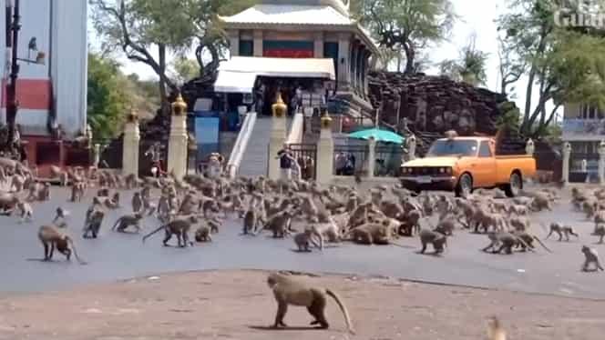 Planeta maimuțelor pe străzile din Thailanda. Sute de animale se bat pentru mâncare pe străzile pustii. VIDEO