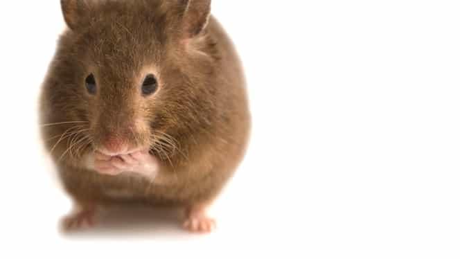 A apărut primul caz de hepatită E la om, trasmisă de la șobolani