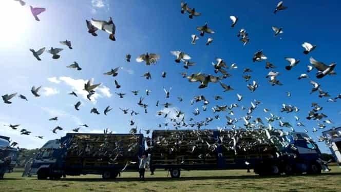 Un porumbel vândut în Belgia, cea mai scumpă pasăre din lume. Câți bani a luat proprietarul pe el
