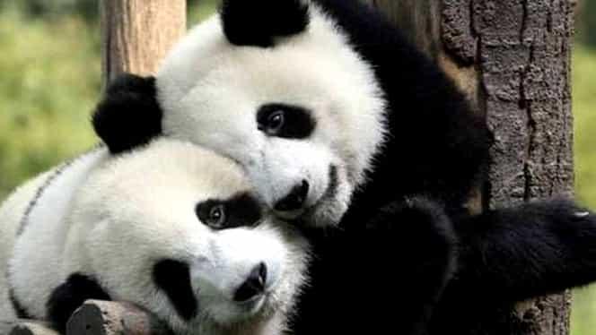 Angajații unei grădini zoologice din China au încercat timp de 10 ani să împerecheze doi urși panda! S-a întâmplat abia acum, când aceasta a fost închisă