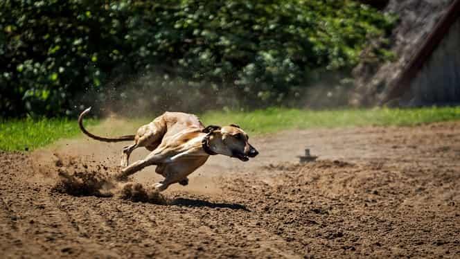 Coronavirus la ogari. Australia avertizează în legătură cu o nouă afecțiune și suspendă cursele de câini din Victoria