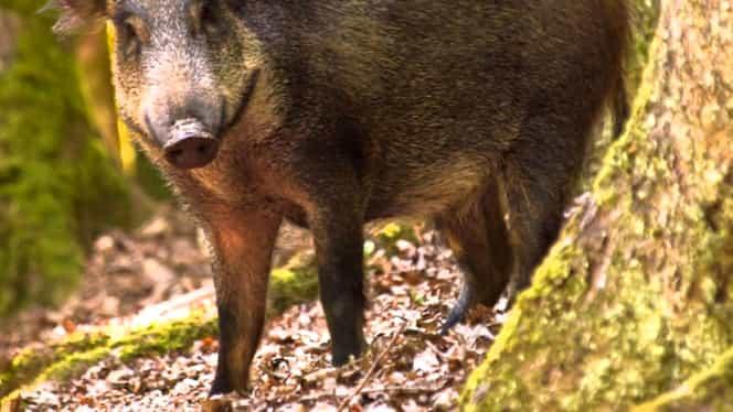Porc mistreţ radioactiv vânat în România! Animalul parcă ar fi fost la Cernobîl!