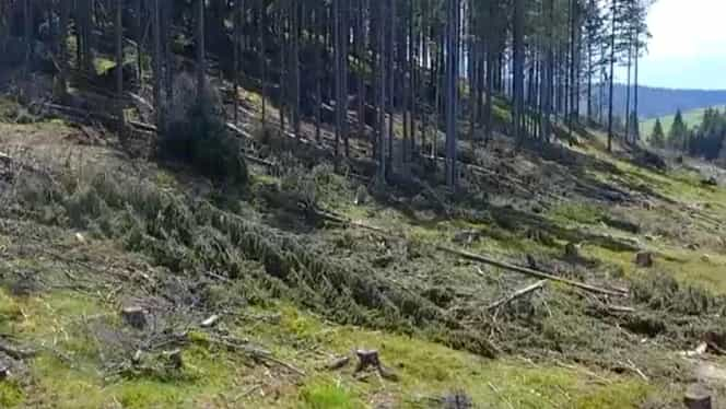 Garda Forestieră a descoperit 5.773 de copaci tăiați ilegal în Munții Rodnei. Prejudiciu imens adus statului român