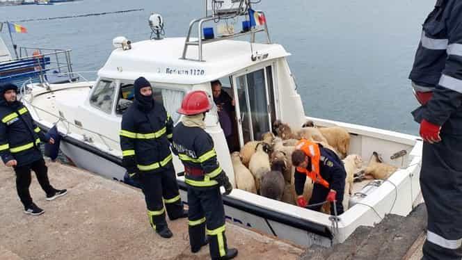"""Oițele salvate din portul Midia vor fi trimise spre adopție: """"Să trăiască până la adânci bătrâneți"""""""