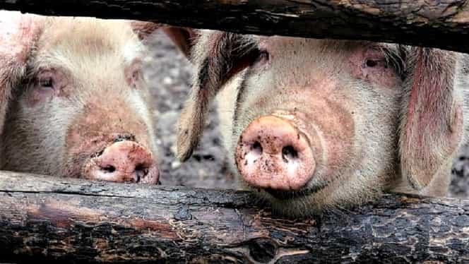 Pestă porcină confirmată în Argeș! Trei focare la porcii din gospodăriile oamenilor