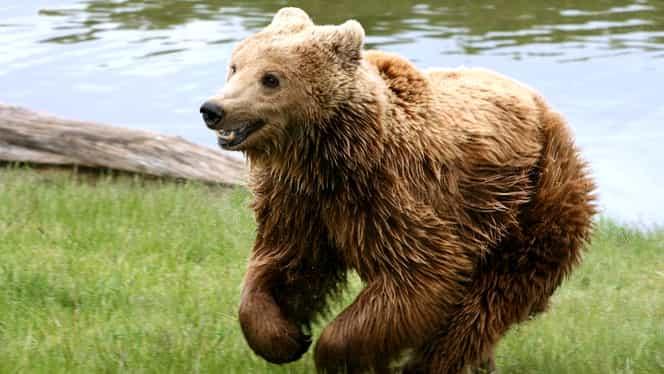 Două persoane atacate de urs în oraşul Făgăraş! Oamenii au ajuns de urgenţă la spital!