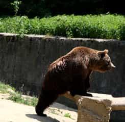 S-a emis mesaj RO-ALERT! ISU avertizează populația despre prezența unui urs