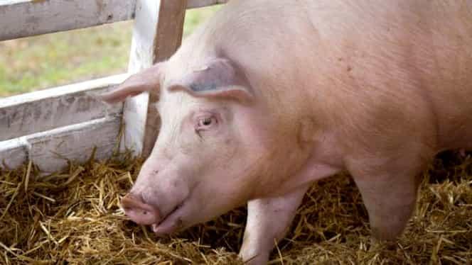 Prețul cărnii de porc va crește cu 15-20% de perioada Crăciunului. Cum explică specialiștii acest lucru