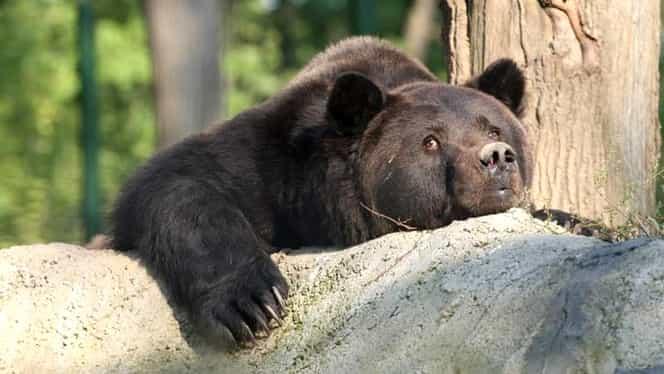 """Ursul Max a murit, după ce a fost chinuit și amețit cu medicamente. """"Acum nu îl mai doare nimic…"""""""