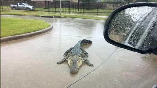 Aligatori pe străzile statului Texas, după ce uraganul Harvey a lovit