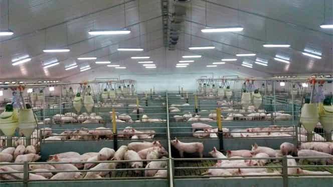 Guvernul Orban taie din ajutoarele pentru fermieri, unii cu afacerile serios afectate deja de gripa porcină